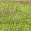Stock Photo: Green grass with pink flowers