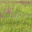 Green grass with pink flowers - Stock Photo