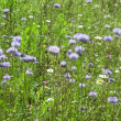 Stock Photo: Green grass with blue flowers
