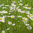 Royalty-Free Stock Photo: Chamomile field