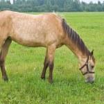 Pasturing horse — Stock Photo #1040733