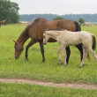 Horse with her foal — Stock Photo #1040753