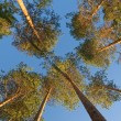 Stock Photo: Pine tops