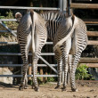 Two zebras in a zoo show their rear ends to the public — Stock Photo #1041308