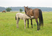 Foal suckling his mother — Stock Photo