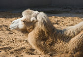 Head and neck of a camel in Moscow zoo — Stock Photo