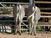Two zebras in a zoo show their rear ends to the public — Stock Photo