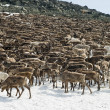 Foto Stock: Herd of reindeers