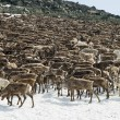图库照片: Herd of reindeers