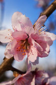 Pink cherry flower — Stock Photo