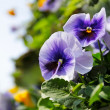 Royalty-Free Stock Photo: Pansy