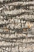 Bark of palm — Stock Photo
