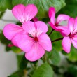 Petals of geranium - Stock Photo