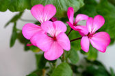 Petals of geranium — Stock Photo