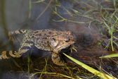 Frog on a bog — Stock Photo