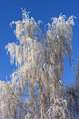 Birch in winter — Stockfoto
