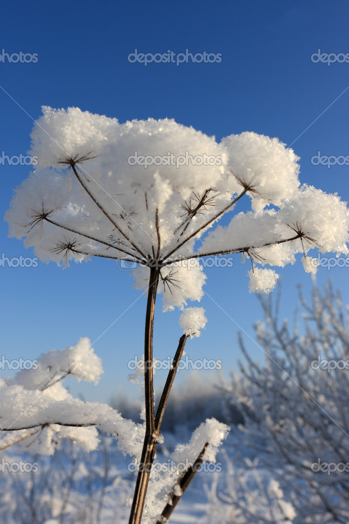 The snow covered plant in a park, Russia — Stock Photo #1666588
