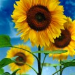 Sunflowers on a background of the sky — Stock Photo