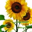 Sunflowers, isolated on white background — Stock Photo