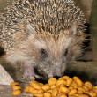Hedgehog — Stock Photo #1126058