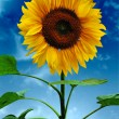 Stock Photo: Sunflowers on a background of the sky