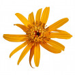Rudbeckia, isolated on white background - Stock Photo