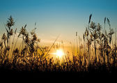 Reed against the sunset — Stock Photo