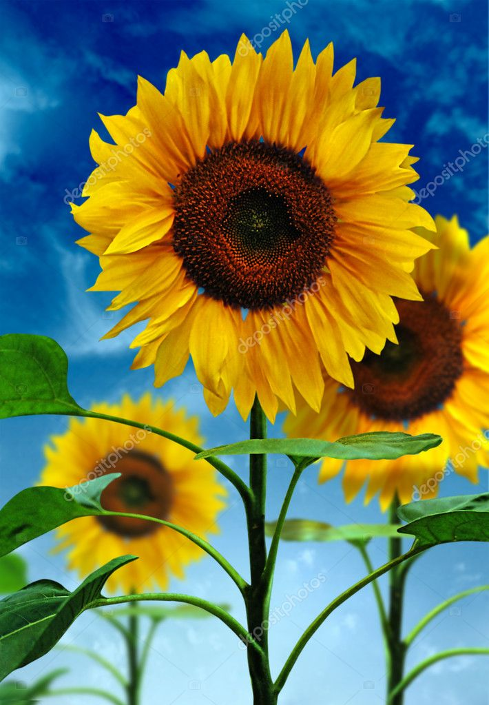 Sunflowers on a background of the sky — Stock Photo #1126054