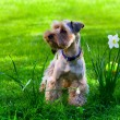 Foto Stock: Yorkshire Terrier puppy on green grass