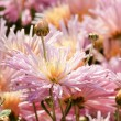 Chrysanthemum flowers — Stock Photo #1044430