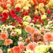 Closeup of colorful dahlias — Stock Photo #1044495