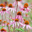 Stock Photo: Blooming medicinal herb echinacepurp