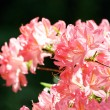 Stock Photo: Pink azalea