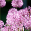 Close up of the flowers of some Chives — Stock Photo #1045923