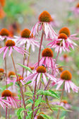 Blooming medicinal herb echinacea purp — Stock Photo