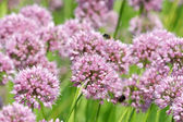 Close up of the flowers of some Chives — Stock Photo