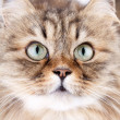 Close-up portrait of Siberian cat — Lizenzfreies Foto