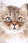 Close-up portrait of Siberian cat — Stock Photo