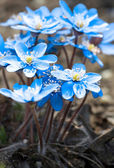 Beautiful blue snowdrops — Stock Photo