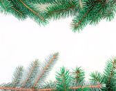 Galhos de árvore do abeto — Foto Stock