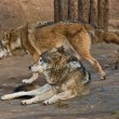 Two wolves - Stock Photo