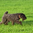Royalty-Free Stock Photo: The Kerry Blue terrier
