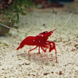 Red-shrimp — Stock Photo