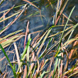 Stock Photo: Carex,