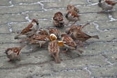 Sparrows — Photo