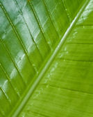 Big leaf — Stock Photo