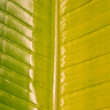 Stock Photo: Big leaf