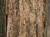 Unlucky tree — Stock Photo