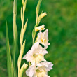 Gladiolus — Stock Photo #2159301