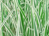 The Carex variegata — Stock Photo